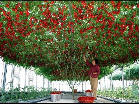 como sembrar tomates en macetas colgantes - youtube