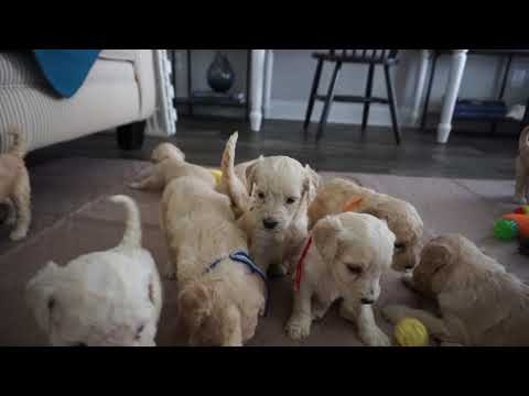 Cali & Houston's Labradoodle Puppy Playtime @ 4 Weeks - #1