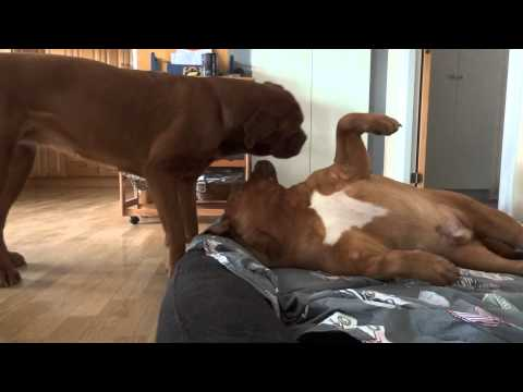 Dogue de Bordeaux´s playing indoors !