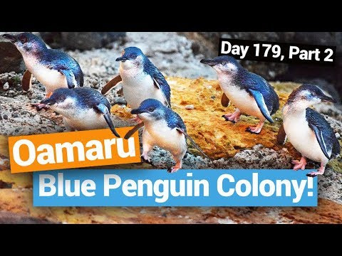 The Blue Penguin Colony in Oamaru  –  New Zealand's Biggest Gap Year – Backpacker Guide New Zealand