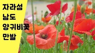 자라섬 남도 유채꽃 양귀비 꽃동산은?