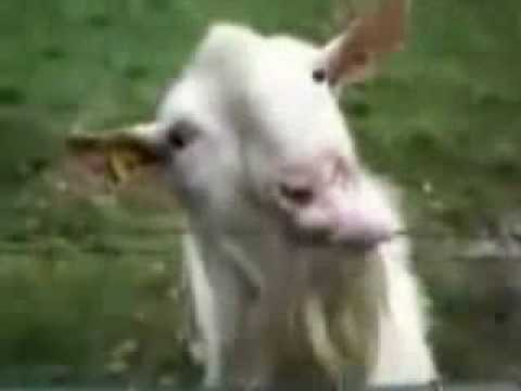 Goat to lick the electric fence