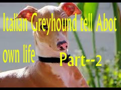 Italian Greyhound Tell About his life-- Part 2