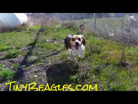 Pocket Beagles For Sale ~ Puppies Playing in the Sun