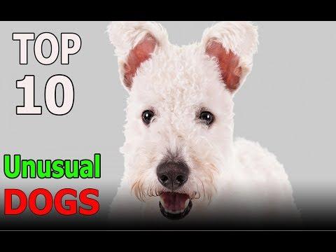 Top 10 Most Unusual Dog Breeds | Top 10 animals