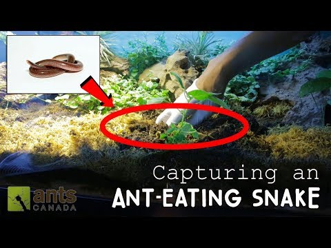 Capturing An Ant-Eating Snake
