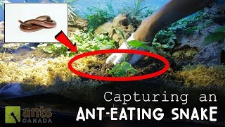Capturing An Ant-Eating Snake thumbnail