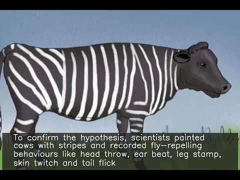 As vacas pintadas coma cebras reciben a metade de picadas de insectos