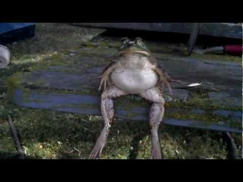 Frog relaxing (PHROG)