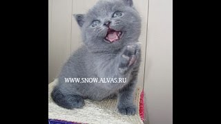 Британский котенок питомника британских кошек Silvery Snow