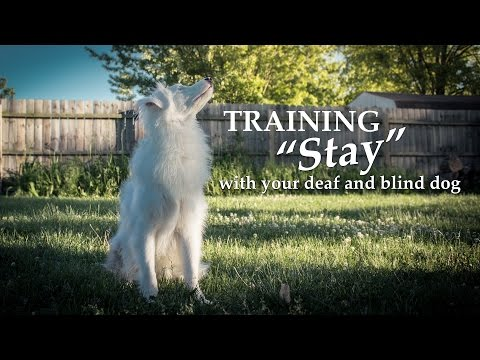 Teaching 'Stay' With Your Deaf and Blind Dog