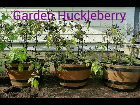 Garden huckleberry jelly and pie .Two tasty treats with one picking ...