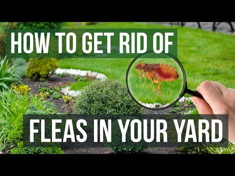 How to get rid of fleas in the house and yard