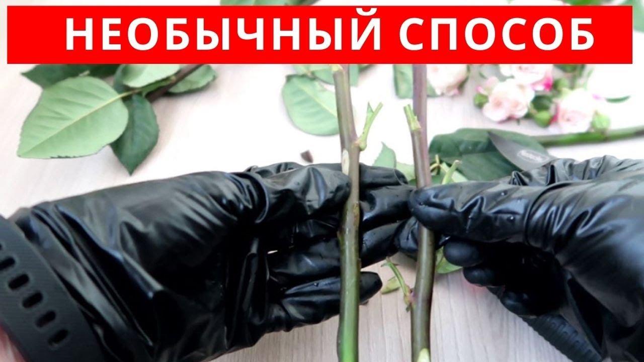 Как УКОРЕНИТЬ розы из БУКЕТА необычным способом