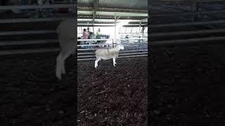 BL Ram 126 video