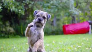 Borderterrier, Mira & Rut - 2009!