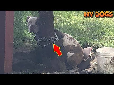 Rescue an Abandoned PitBull Tied So Tightly To A Tree That He Couldn't Move His Head