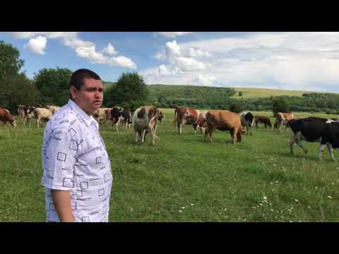 Обзор на коров в Чулыме Красноярского Края