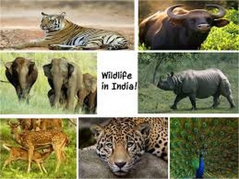 Wildlife Of India!!! (Animals Documentary) Kids Special ...