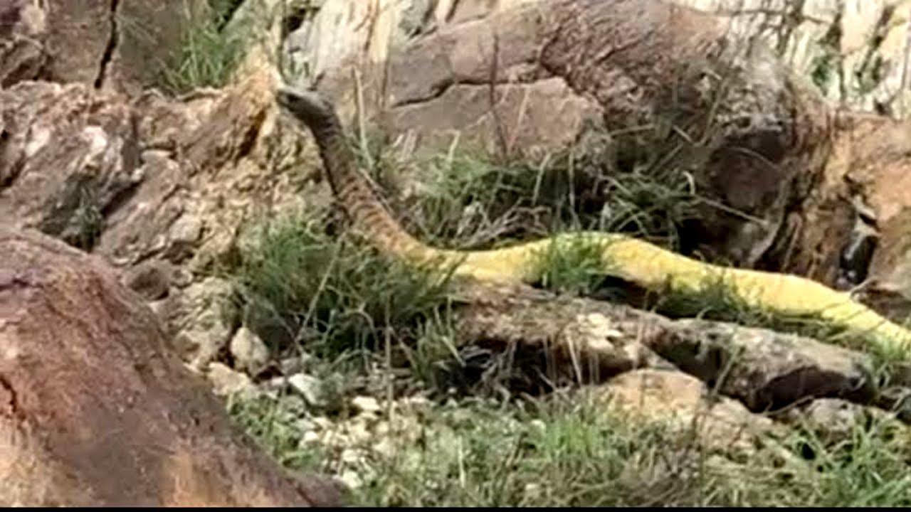 فيديو يظهر ثعبان ضخم ومرعب في مدينة الضالع اليمنية