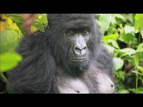 Mountain gorillas at Virunga National Park, DRC
