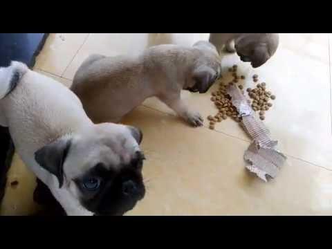 Pug puppies eating pedigree