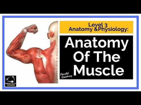 Level 3 Anatomy and Physiology: Anatomy of the Muscle