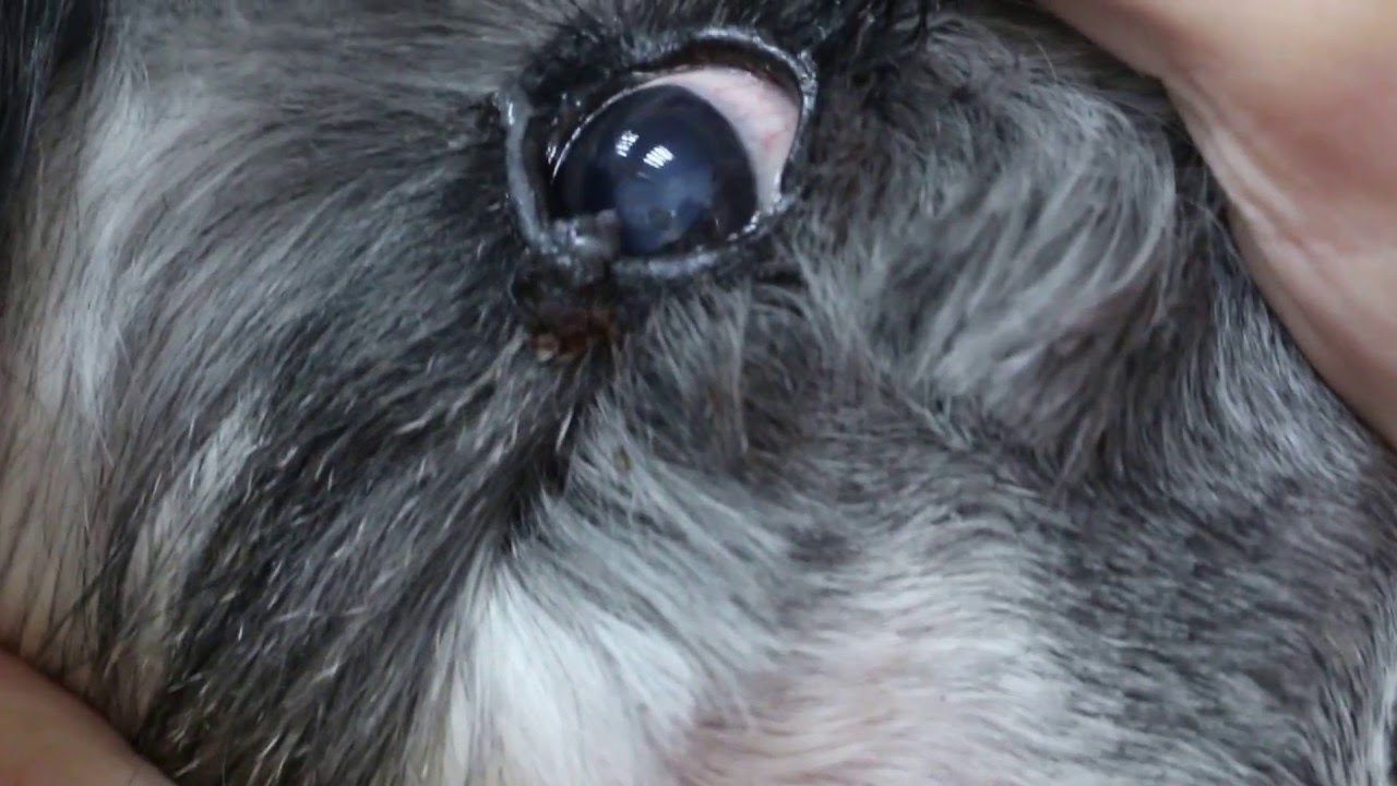Dog Red Bump Right By Eye