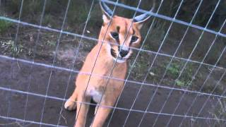 crazy caracal in rehabilitation