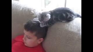 Американские короткошерстные котята /American Shorthair kitten Породы кошек