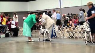 West Palm Beach, Fl Dog Show (7-16-11) Dalmatians: Amateur-owner-handler