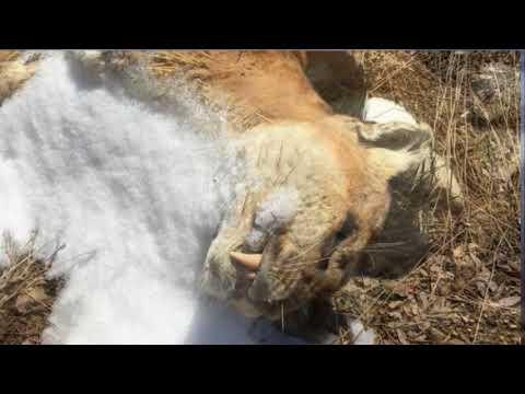 DNA results show cougar found frozen near Thunder Bay had genetic markers in Dakotas, Nebraska