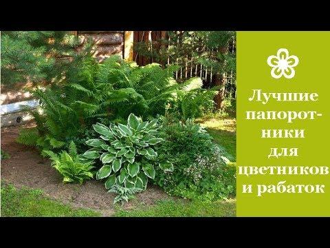 ❀ Лучшие папоротники для цветников и рабаток