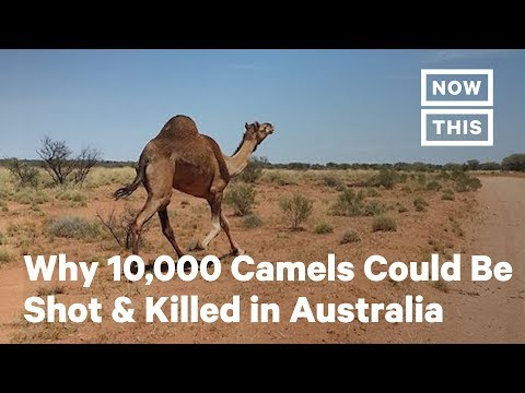 10,000 Camels Could Be Shot and Killed in Australia Due to Bushfires | NowThis