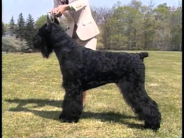 Giant Schnauzer Akc Dog Breed Series Youtube