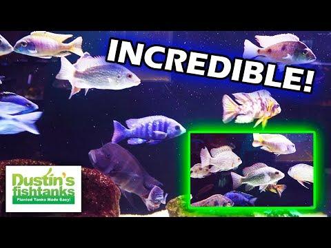 African Cichlids, South American Cichlids: Matt's Fish Room In CO
