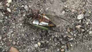 地中で数年の長い幼虫期を過ごし、やっと地上で羽化して成虫になったク...