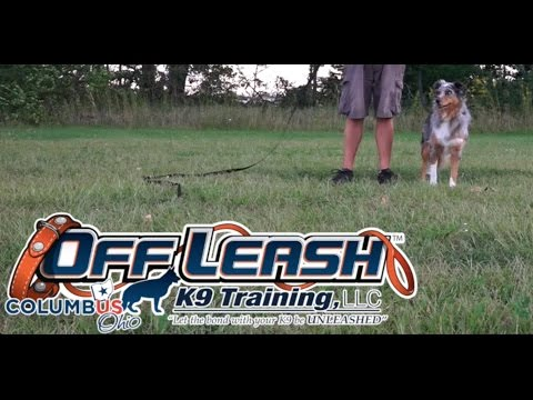 Dog Training: 4 Year Old Australian Shepherd, Miyla! Before/After 2 Week Board and Train!