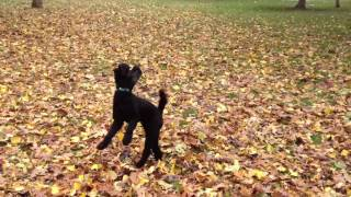 Poodle Flying For Leaves At Trinity Bellwoods Park Toronto