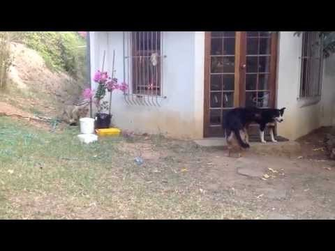 Sneaking Lion Cub Gives Dog Fright from YouTube · Duration:  21 seconds