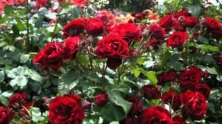 Mahir Palos - Mirisu li nase ruze