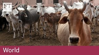 Sacred cows a growing nuisance in India