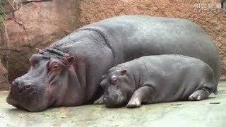 神戸市立王子動物園(灘区)で3年ぶりに生まれたカバの赤ちゃん。母乳...