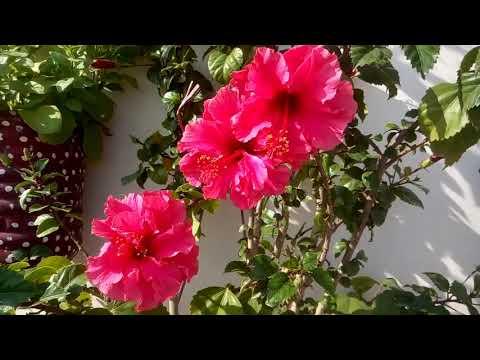 936 Hibiscus Par Jiyada Flowers Paane Ke Liye Jankari Aapki