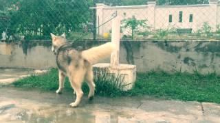 We Provide Stud Service For Big Bone Siberian Husky--- Paiko