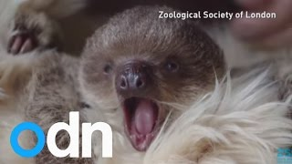 Cute baby sloth gets a surrogate mum