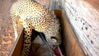 Africa Cheetah Picks Out Own Toys As A Cub & Adult & Plays | Big Cat With A Fun Personality