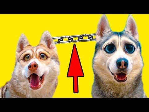 24 ЧАСА ПРИКОВАНЫ ДРУГ К ДРУГУ ЧЕЛЛЕНДЖ (Хаски Бандит) Говорящая собака