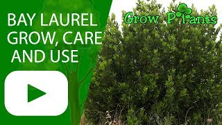 Laurus nobilis - Bay laurel - grow, care and use