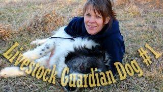 Livestock Guardian Dog Series - Meet our Guardian Dog